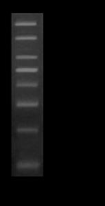 100 base pair DNA Marker