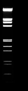 Lambda EcoRI HindIII DNA Größen Marker